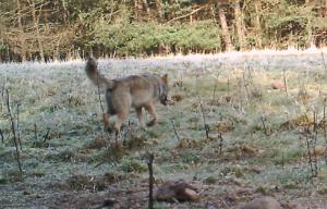 Besenderter Wolf 1.3